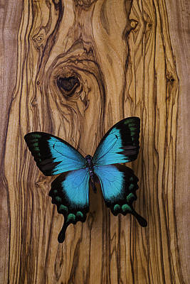 Blue Butterfly On Wood Grain Poster by Garry Gay