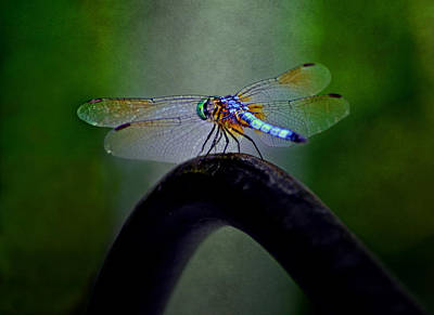 Blue Dasher Dragonfly Poster by Sandi OReilly