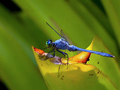 Blue Dasher Dragonfly Poster by Sandra Anderson