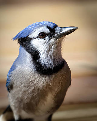 Blue Jay Portrait Poster by Al  Mueller
