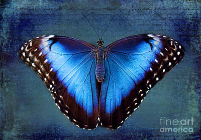 Blue Morpho Butterfly Poster by Barbara McMahon