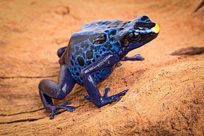 Blue Poison Arrow Frog Poster by Dirk Ercken