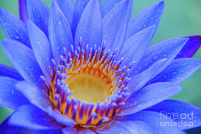 Blue Water Lily Poster by Julia Hiebaum