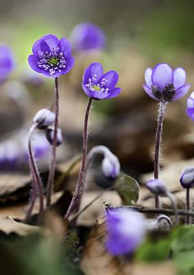 Blue Wild Spring Flowers Poster by Dirk Ercken