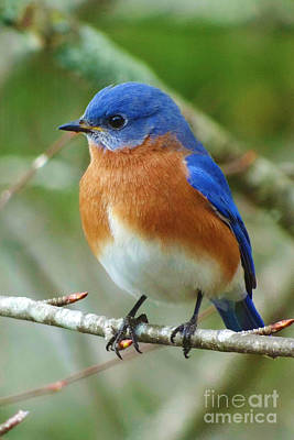 Bluebird On Branch Poster by Crystal Joy Photography