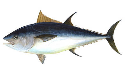 Bluefin Tuna Illustration Poster by ArtworkAssociates