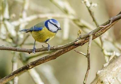 Bluetit Poster by John Brown