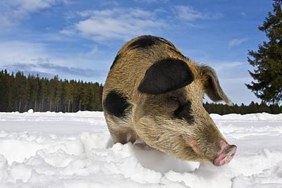 Boar Foraging In Snow Poster by Jean-Louis Klein & Marie-Luce Hubert
