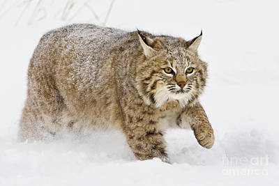 Bobcat In Snow Poster by Jerry Fornarotto