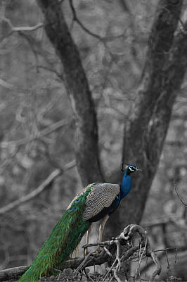 Book Cover - Peacock Poster by Ramabhadran Thirupattur