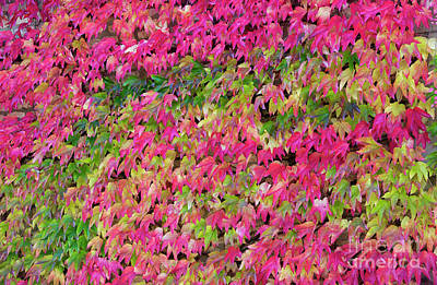 Boston Ivy In Autumn Poster by Tim Gainey