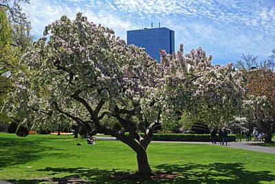 Boston Public Garden Spring Tree Boston Ma Poster by Toby McGuire