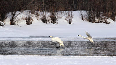 Brace For Impact - Trumpeter Swans Poster by TL Mair