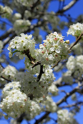 Bradford Pear Blossoms Poster by Suzanne Gaff