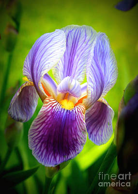 Bright Iris Poster by Carol Groenen