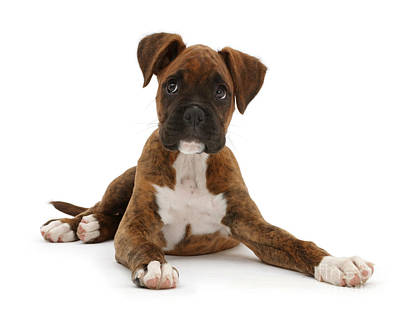 Brindle Boxer Puppy Poster by Mark Taylor