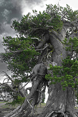 Bristlecone Pine Tree On The Rim Of Crater Lake - Oregon Poster by Christine Till