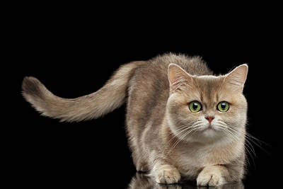 Brittish Cat With Curve Tail On Black Poster by Sergey Taran