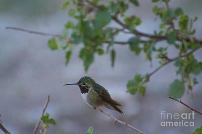 Broadtailed Hummingbird Poster by James Hennis