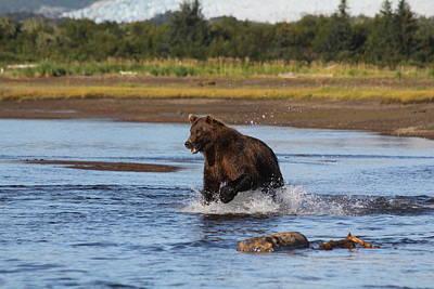 Brown Bear Chasing Fish Poster by David Wilkinson