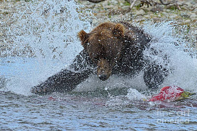 Brown Bear Diving In Water Trying To Catch Salmon Poster by Dan Friend