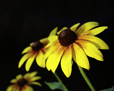 Brown Eyed Susan Poster by Michael Peychich