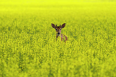 Buck In Canola Poster by Mark Kiver