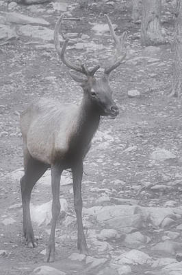 Buck In Fog On Hurricane Ridge - Olympic National Forest - Olympic National Park Wa Poster by Christine Till