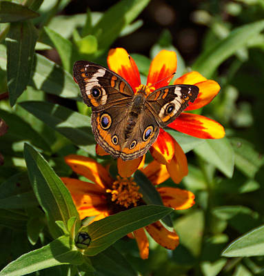 Buckeye Butterfly Poster by Sandy Keeton