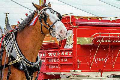 Budweiser Clydesdale In Full Dress Poster by Bill Gallagher