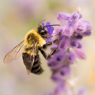 Bumble Bee On Russian Sage Poster by Jim Hughes
