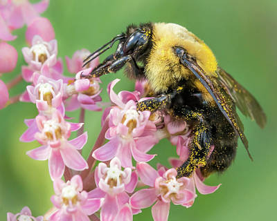 Bumble Bee On Milkweed Poster by Jim Hughes