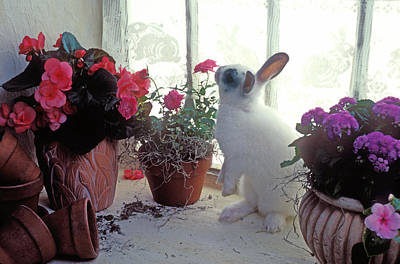 Bunny In Window Poster by Garry Gay