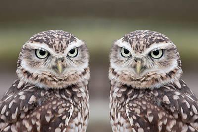Burrowing Owls Poster by Tony Emmett