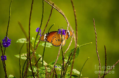 Butterfly And Flower Poster by Venura Herath
