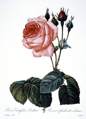 Cabbage Rose Poster by Granger