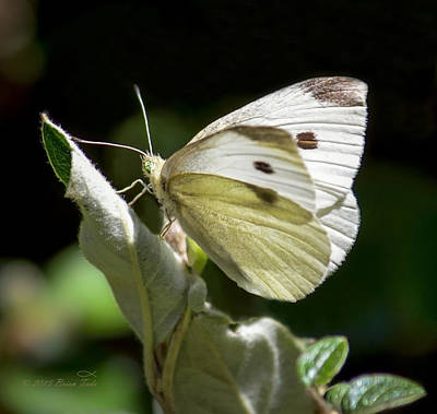 Cabbage White Butterfly Poster by Brian Tada