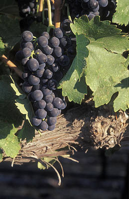 Cabernet Grapes On The Vine In Santa Poster by Rich Reid