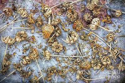 Calendula Seeds Poster by Tim Gainey