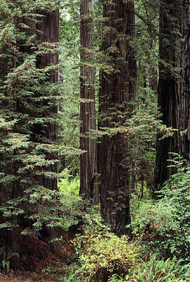 California Redwoods Poster by Greg Vaughn - Printscapes