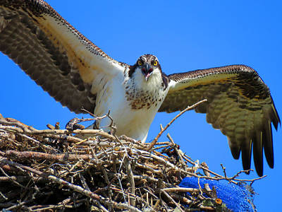 Call Of The Osprey Poster by Dianne Cowen