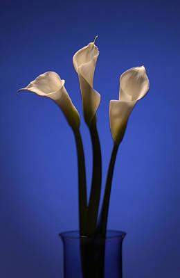 Calla Lilies Poster by Steve Williams