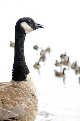 Canada Geese Goose With Wetlands Birds And Waterfowl Poster by Andy Smy