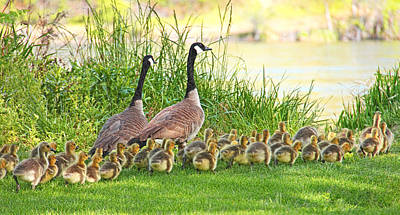Canadian Geese Family Poster by Jennie Marie Schell