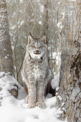 Canadian Wilderness Lynx D2024 Poster by Wes and Dotty Weber