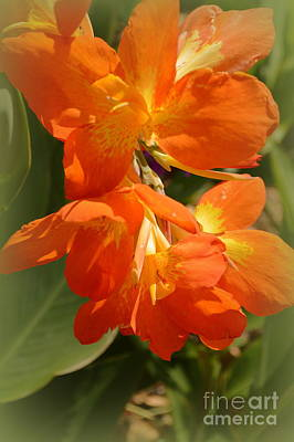 Canna Bloom Poster by Linda Covino