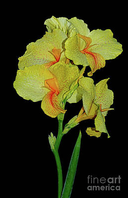 Canna Lily Be So Pretty? Poster by Kaye Menner