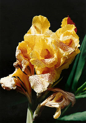 Canna Lily Poster by Marilyn Wilson