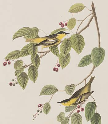 Carbonated Warbler Poster by John James Audubon