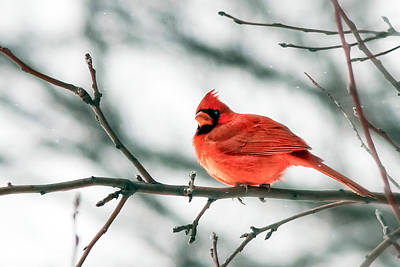 Cardinal And White Poster by Todd Klassy